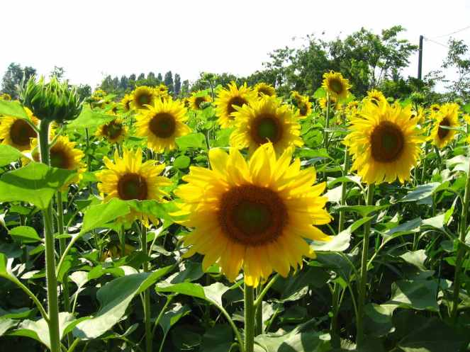 Solar Energy: New Sunflower-Inspired Pattern Increases Concentrated Solar Efficiency